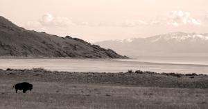 Bison on Antelope Island, Great Salt Lake