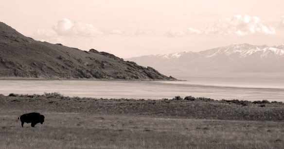 Bison on Antelope Island, Great Salt Lake