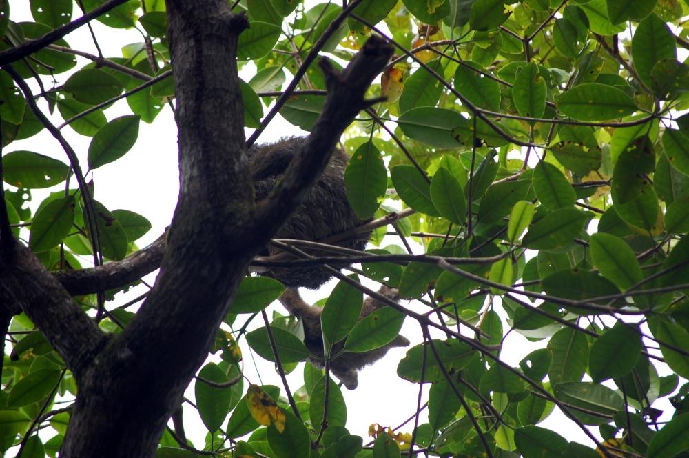 Baby Sloth, Bocas del Drago, Panama