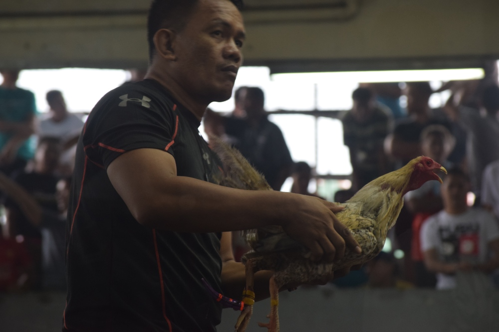 Trainer holding rooster before a cockfight