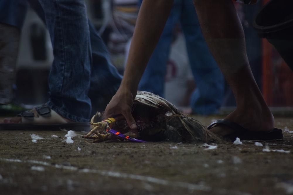End of a cockfight at Laloma, Manila.
