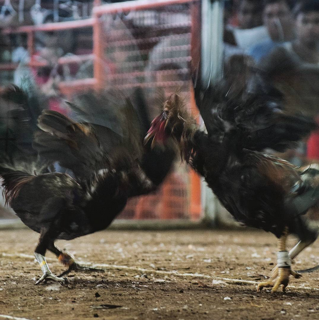 Two roosters at a cockfight in the Philippines
