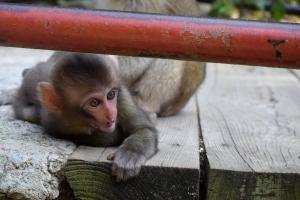 Jigokudani Monkey Park, Japan
