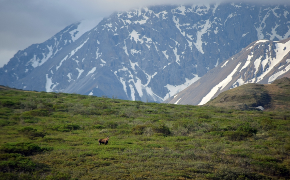 Moose on Hillside with Mountains